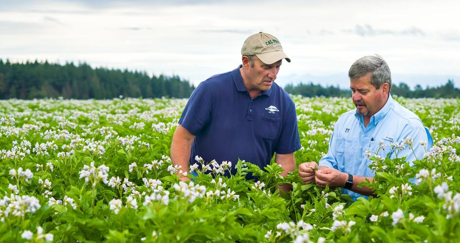 Why a healthy canopy is essential for potatoes