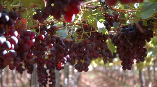 Grappes de raisin rouge dans un vignoble