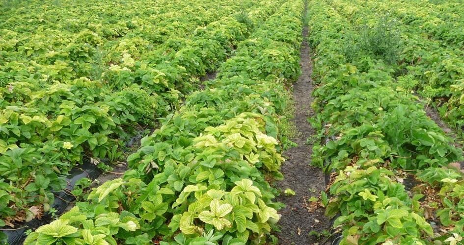 Iron deficency in strawberries can often be seen late in the season