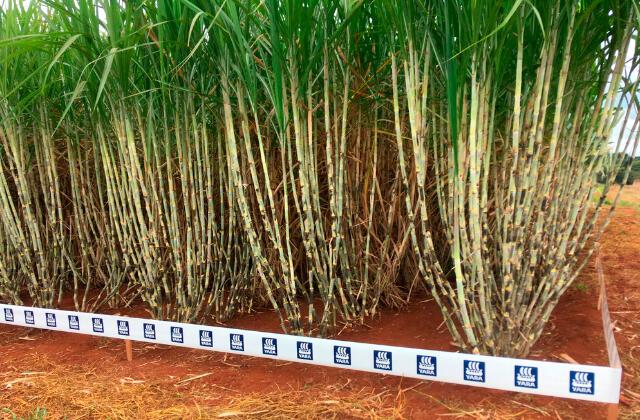 cultivo de cana