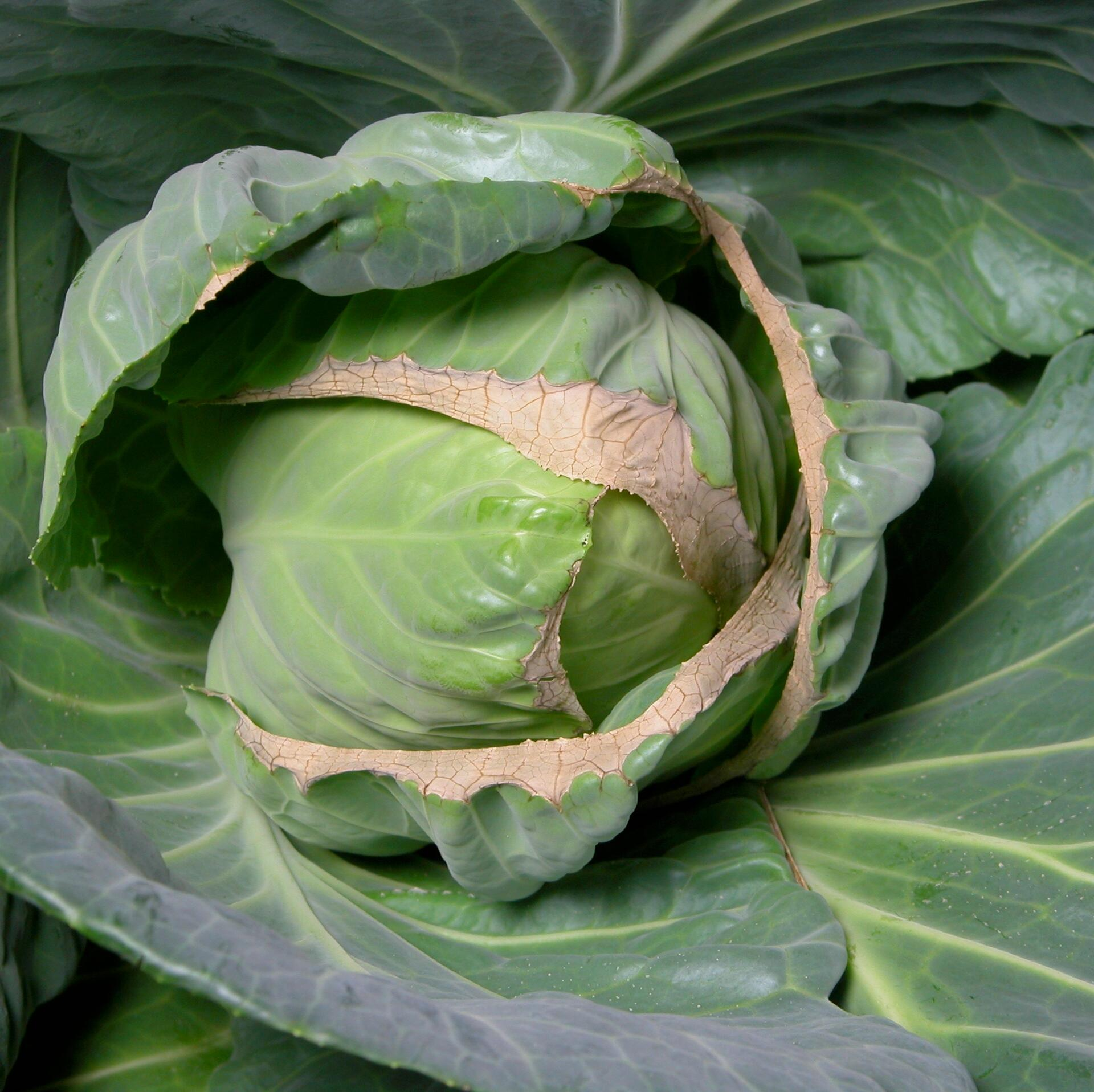 Calcium deficiency: Tip burn on cabbage